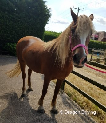 Beauty, 15.1hh Riding Mare