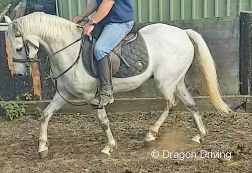 Harry, 13.2hh Riding Gelding