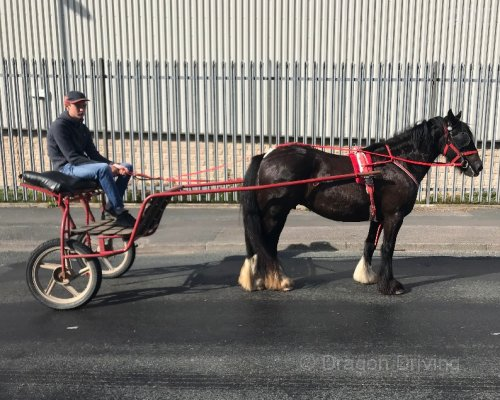 Echoe, 14hh Ride and Drive Mare
