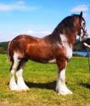 Dairylough Macfin Real McCoy, 17hh Clydesdale Stallion at Stud.