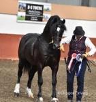 Diamond, 14.2hh Welsh Section D Stallion