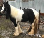 14hh Ride and Drive Mare