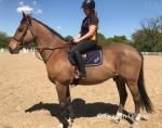 Duke, 16.2hh Riding Gelding