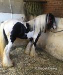 13hh Stallion