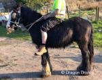 Ride and Drive Gelding