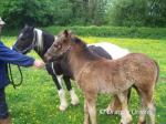 13.2hh Mare with Colt Foal
