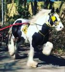 14.2hh Ride and Drive Stallion