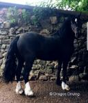 3 Year Old Welsh Section D Filly