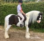 Joe Lewis, 13.2hh Riding Gelding