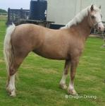 2 Year Old Welsh Section C Filly