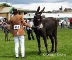 14hh Jenny Donkey
