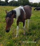 15.3hh Ride and Drive Gelding