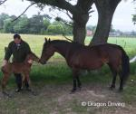 15hh Standardbred Broodmare with Colt Foal
