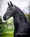 Jakke Fan Ferwalde, 16.1hh Friesian Stallion at Stud