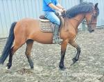 Jamesie, 15.1hh Riding Gelding