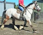 Agnus, 16.3hh Riding Mare