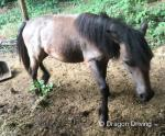 Welsh Section A Yearling Filly