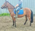 Moon, 14.1hh NF Riding Gelding