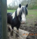 14hh Riding Gelding for Loan