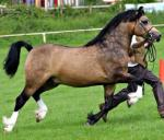 13.2hh Welsh Section C Riding Gelding