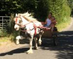 13hh Ride and Drive Gelding