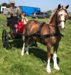 Talyllyn Golden Sunshine, 13hh Ride and Drive Gelding