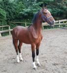 Hackney Yearling Colt