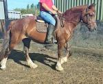 Sarah, 15hh Ride and Drive Mare