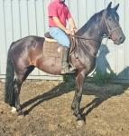 Blackjack, 15.3hh Ride and Drive Gelding