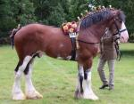 Glenside Rising Star, 18.2hh Clydesdale Stallion at Stud