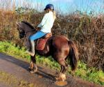 Poppy, 14hh Riding Mare