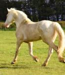 15.2hh Stallion at Stud