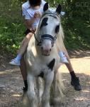 13.2hh Ride and Drive Stallion