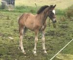 Welsh Section D Filly Foal