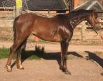 13.1hh Welsh Section B Gelding