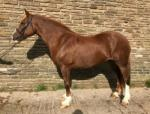 15.2hh Welsh Section D Mare