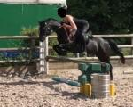 Welsh Section B Riding Mare