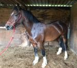 14.2hh WPB Mare