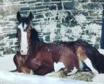 Clydesdale Yearling Filly