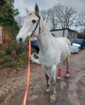 15.1hh Connemara Riding Gelding